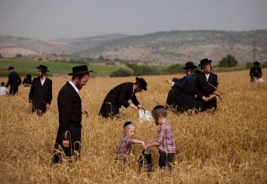 Сбор колосьев пшеницы – подготовка к празднику Шавуот.
