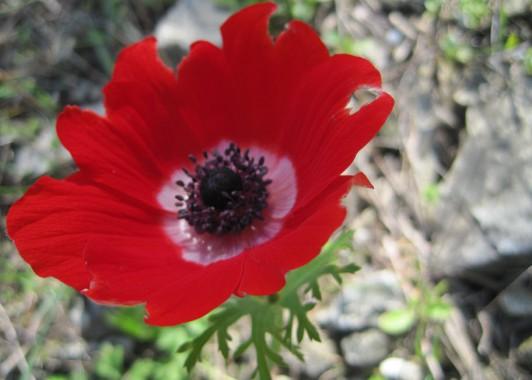 Красные Aнемоны цветут зимой в горах Израиля