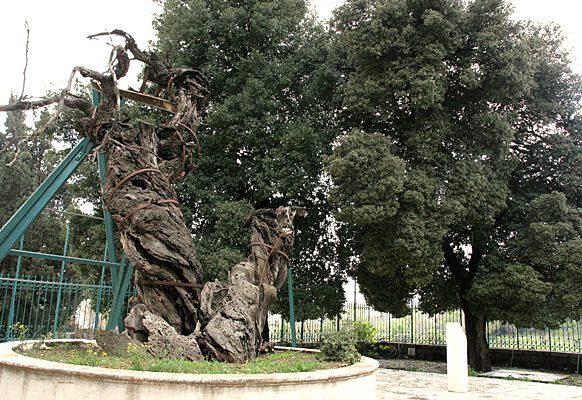 Мамврийский дуб в наши дни