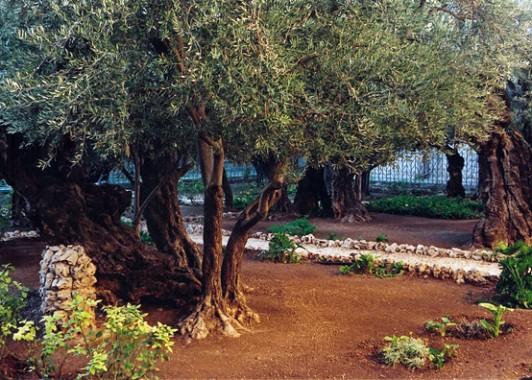 Старые оливы в Гефсиманско саду. (2)