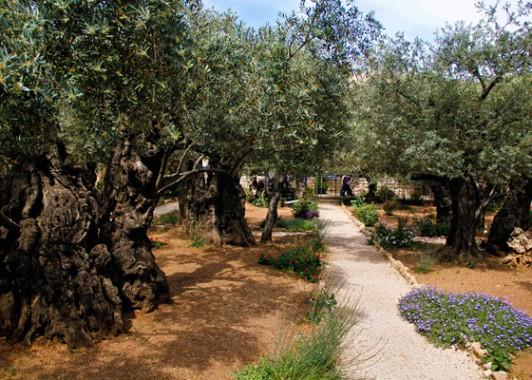 Старые оливы в Гефсиманском саду.