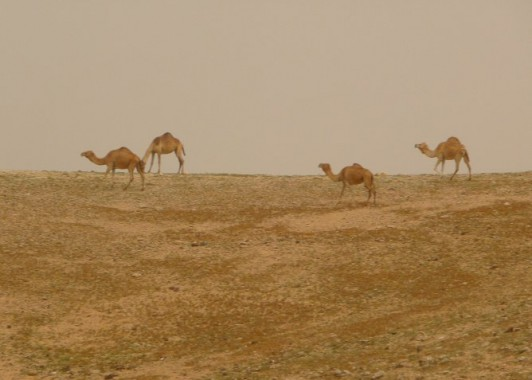 Верблюды в Иудейской пустыне.