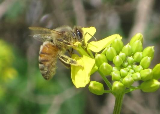 Пчела Святой Земли