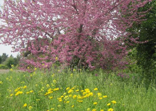 Цветущее Иудино дерево