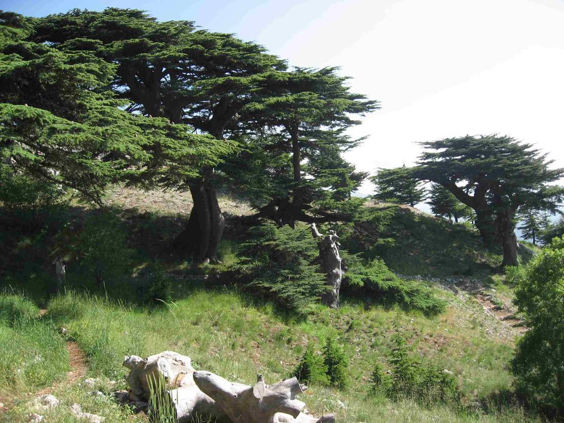 Деревья Святой Земли