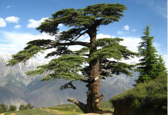 В Израиле ливанские кедры сохранились на Голанских высотах и на Хермоне.