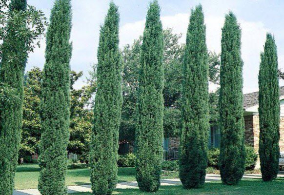 cypress-planted
