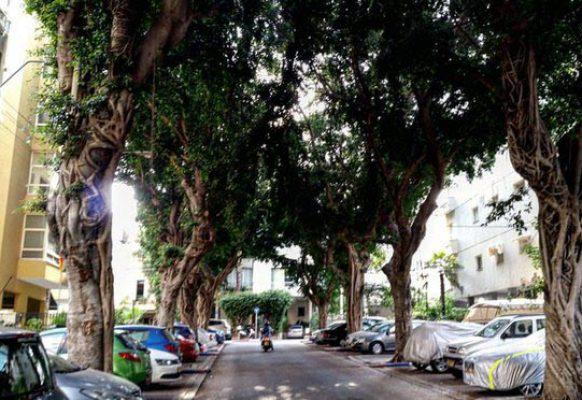 Дающие много тени фикусы – самые популярные деревья в Тель Авиве.