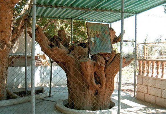 Это все, что осталось от дерева Заккея в Иерихоне.