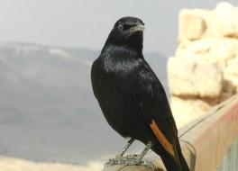 Черные птицы – символы Масады