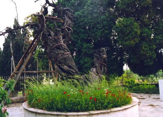 Так выглядит Мамрийский дуб сегодня.