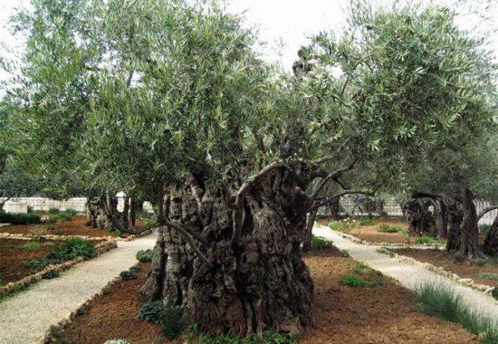 Евангельская олива в Гефсиманском саду.